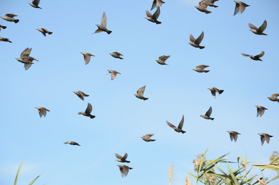 A flock of starlings in flight as a group against the sky preparing to roost