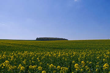 Ponitz / Germany: Grove in the background of a blooming rape field in Eastern Thuringia in April