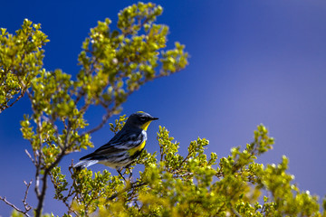 Yellow-rumped Warbler in southern New Mexico during spring migration