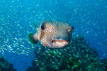 Wall Mural - A curious Pufferfish / Porcupine fish on a tropical coral reef