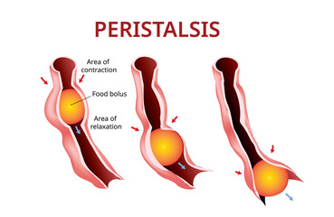 Digestion and Peristalsis. Esophagus and stomach to intestine, Vector