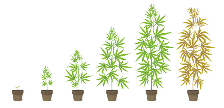 The Growth Cycle of Cannabis potted plant. Marijuana phases set. Hemp ripening period. The life stages. Weed Growing in a pot at home. Isolated vector illustration.