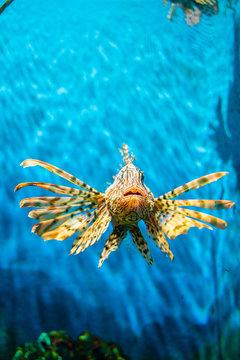 Beautiful lion fish in deep sea water aquarium