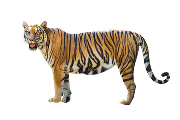 Tiger pictures on white background have different verbs.