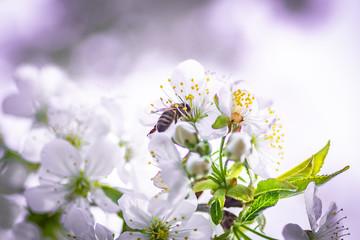 kwitnące wiśnie zapylane przez pszczoły