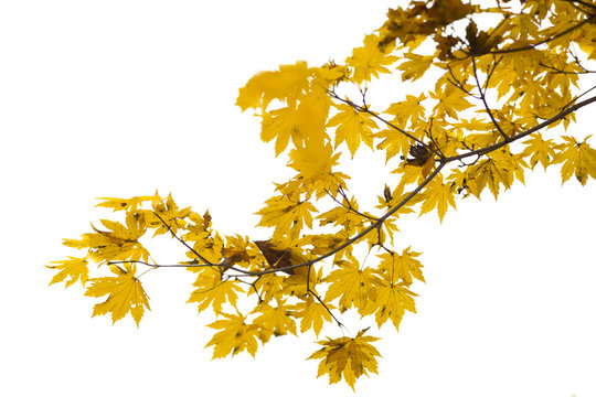 Branch of autumn leaves isolated on white