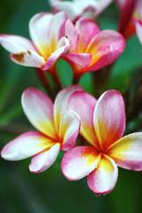 Tuinposter Frangipani frangipani plumeria flower