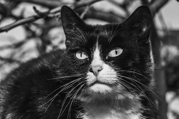 Black and white photo portrait of one beautiful adult young black and white cat with big eyes