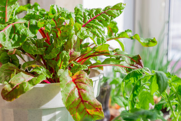Growing plants. Vegetarian food, raw foods, diet. Chard leaves growing in a pot on the windowsill on the balcony