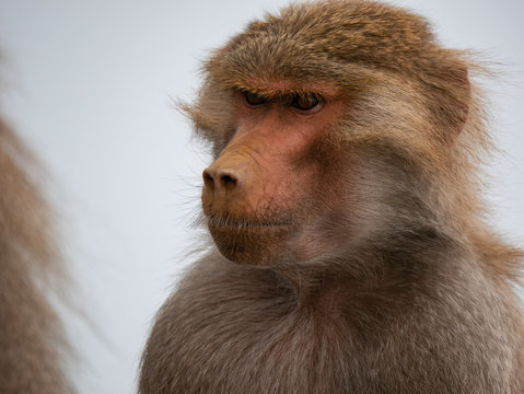 Baboons up in the Al Souda Mountains in the Abha region, Saudi Arabia