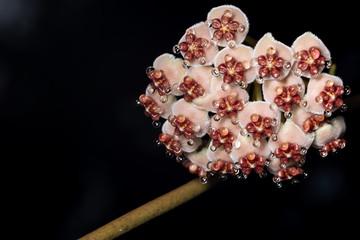 Hoya flowers in nature