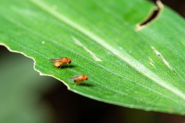 Macro Drosophila on leaves