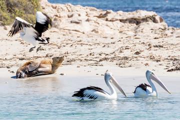 Three pelicans and a sea lion on the beach of Penguin Island, Rockingham, Western Australia