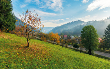 orchard on a grassy hill in the rural valley. trees in golden foliage. distant forest in fog. village near the road. beautiful autumn landscape in mountains. amazing sunny weather, blue sky with cloud