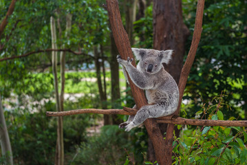 Wild koala on a tree in a green park in Australia