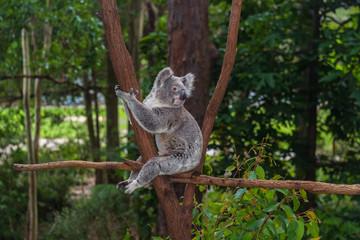 Garden Poster Koala Wild koala on a tree in a green park in Australia