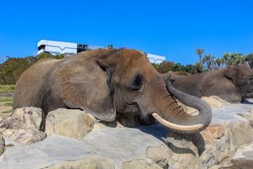 【日本】動物園の象