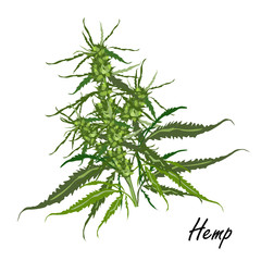 Hemp (marijuana, Cannabis sativa or Cannabis indica). Vector illustration of hemp plant with leaves and flowers on white background.