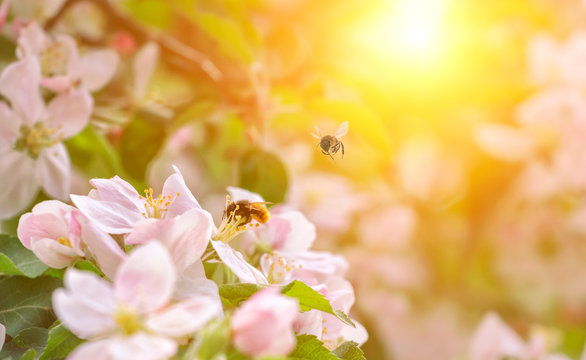 Flowers of the apple blossoms with bee on a sunny spring day