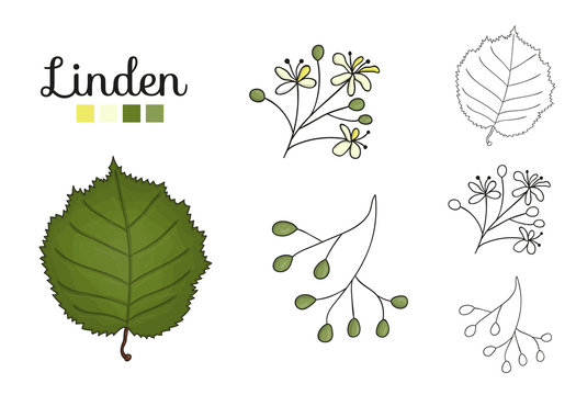 Vector set of linden tree elements isolated on white background. Botanical illustration of linden leaf, brunch, flowers, fruits, ament, cone. Black and white clip art.