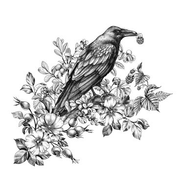 Raven  with Raspberry in Beak Pencil Drawing