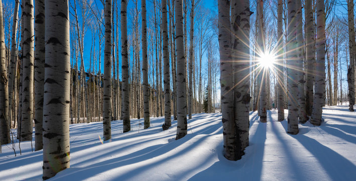 Bare white aspen trunks stand in stark contrast against the bright clear blue Colorado mountain winter sky. The white snow perfectly complements the birch like bare tree trunks as the sun peaks throug
