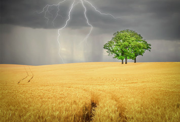 golden wheat field with green tree with lightning and rain