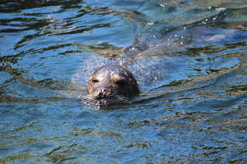 Head of swimming seal above the water surface at the Oosterschelde in the Netherlands