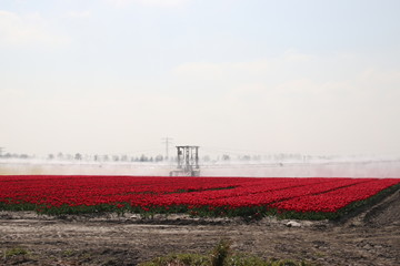 Fields with rows of red tulips in springtime for agriculture of flowerbulb on island Goeree-Overflakkee in the Netherlands, watered due to dryness