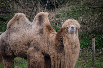 Printed roller blinds Camel The Bactrian camel, Camelus bactrianus is a large, even-toed ungulate native to the steppes of Central Asia.