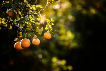 Ripe oranges loaded with vitamins hung from the orange tree in a plantation at sunset with sunbeams in the background in spring. Wall mural