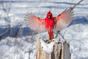 Male Northern Cardinal in flight.