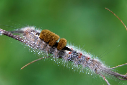 Close-up of moth Caterpillar, Hairy caterpillar isolated with blurred background