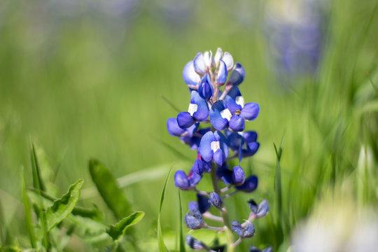 Beautiful Blue Bonnet