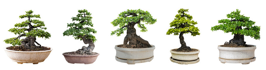 Tuinposter Bonsai Bonsai trees isolated on white background. Its shrub is grown in a pot or ornamental tree in the garden.