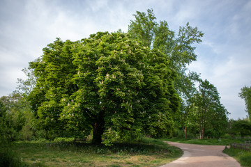 Chestnut tree four seasons set: spring afternoon, april
