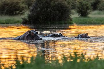 The common hippopotamus (Hippopotamus amphibius), or hippo, is a large, mostly herbivorous mammal in sub-Saharan Africa Wall mural