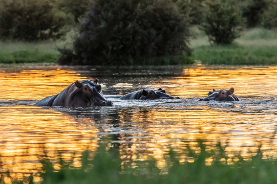 The common hippopotamus (Hippopotamus amphibius), or hippo, is a large, mostly herbivorous mammal in sub-Saharan Africa