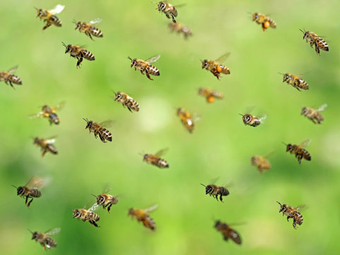 macro shot of flying bee swarm after collecting pollen in spring on green bokeh