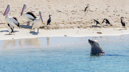 Three pelicans watch a sea lion approaching coming out of the water on the sandy beach of Penguin Island, Rockingham, Western Australia
