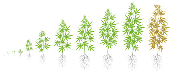 The Growth Cycle of hemp plant. Marijuana phases set. Cannabis sativa ripening period. The life stages. Weed Growing. Isolated vector illustration on white background.