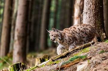 Spoed Foto op Canvas Lynx Young Eurasian lynx (Lynx lynx) walking in carpathian forrest, Slovakia
