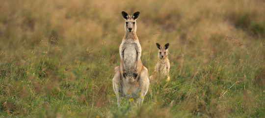Photo sur Aluminium Kangaroo Kangaroos in the countryside