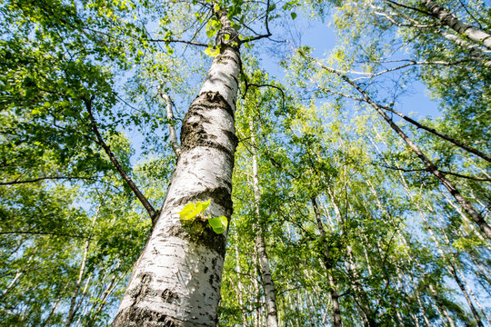 Grüner Birkenwald im Frühling