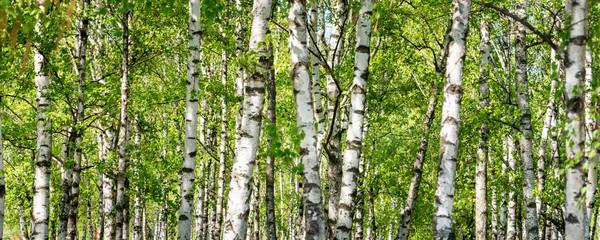 Grüner Wald mit Birken als Panorama Hintergrund