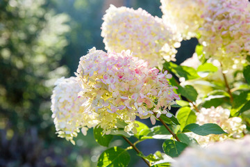 Blooming shrub white paniculata hydrangea (Hydrangea paniculata) in summer garden. Close-up of hydrangea flower.
