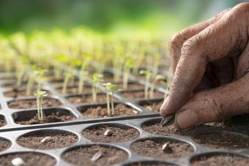 Fototapeta Farmer's hand planting seeds in soil in nursery tray obraz