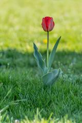 czerwony tulipan na zielonym tle