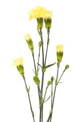 beauty yellow carnations