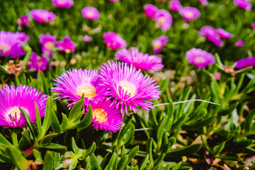 Violet flowers with green grass on a sunny summer day.